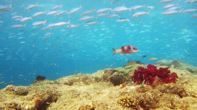 big fish status - goatfish stock videos & royalty-free footage