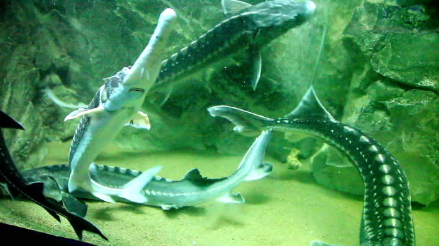 big fishes - sturgeons - river danube stock videos & royalty-free footage