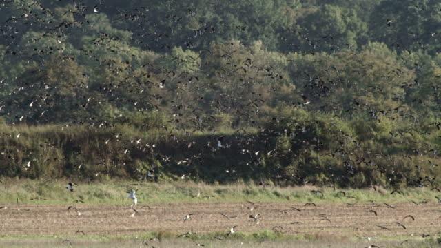 big flock of birds - escaping stock videos & royalty-free footage