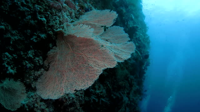 big gorgonian giant sea fan coral, deep sea - gorgonian coral stock videos & royalty-free footage