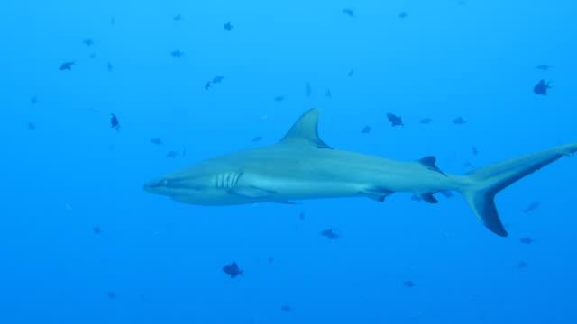 big gray reef shark undersea - grey reef shark stock videos & royalty-free footage