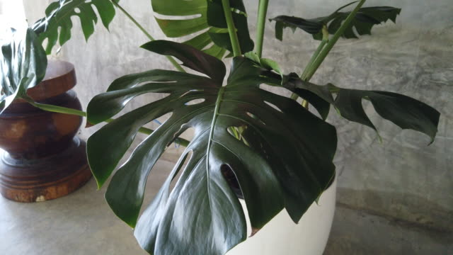 big green monstera plant in the pot interior house - large stock videos & royalty-free footage
