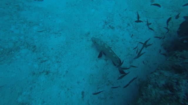 Stora Grouper fisk och småfiskar Under havet
