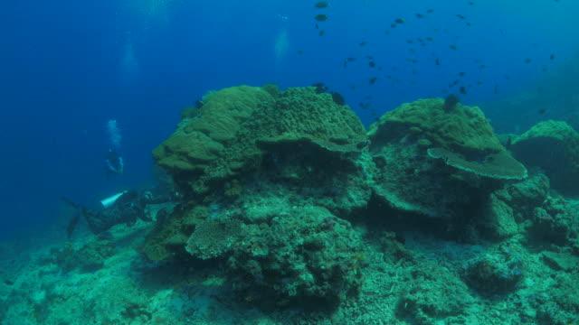 big, healthy lobe coral (porites lobata, reef-building coral) undersea - lobe stock videos & royalty-free footage