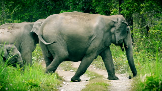 a big herd of elephants crossing the forest road - elephant stock videos & royalty-free footage