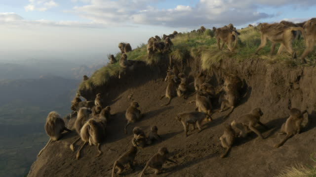 big herd of gelada baboons having fun on a cliff in the simien mountains, ethiopian highland - horn von afrika stock-videos und b-roll-filmmaterial