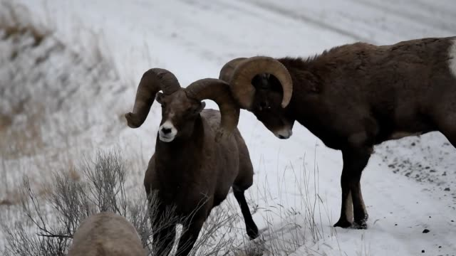 big horn sheep - horned stock videos & royalty-free footage