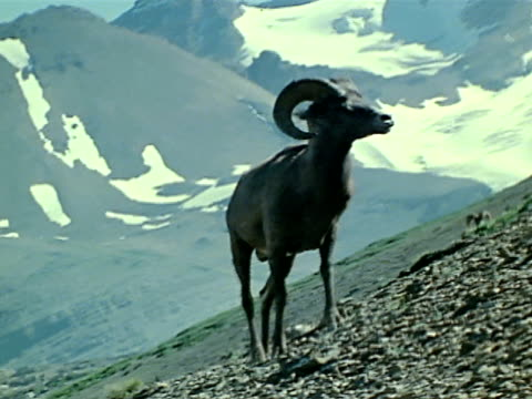 big horn sheep walking up steep mountain side. - bighorn sheep stock videos & royalty-free footage