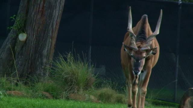 großen horns - antilope stock-videos und b-roll-filmmaterial