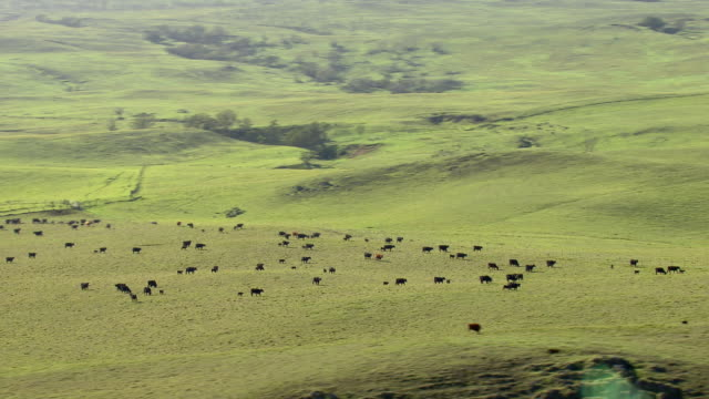 Big Island cattle at pasture in the South Kohala district.