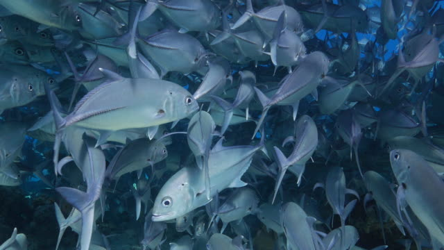 big jack fish swimming everywhere at sea - jack fish stock videos and b-roll footage