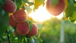 Big juicy peaches on the tree. Organic food for health.