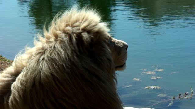Große Kalahari Löwen