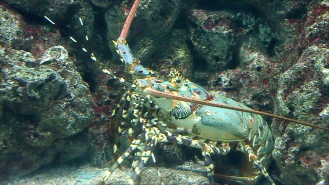 Big lobsters are hiding under the reef.