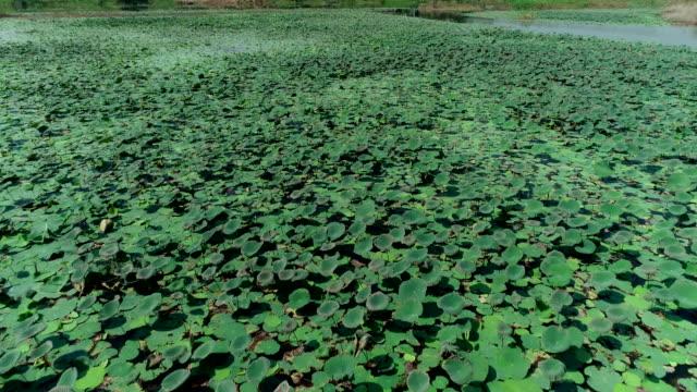 vidéos et rushes de grand étang de lotus photo aérienne par drone. - lis
