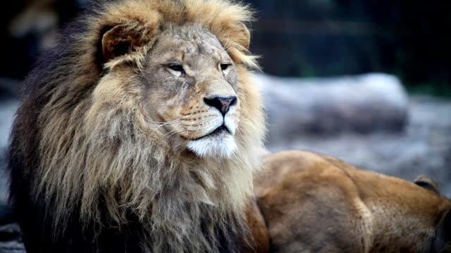 Big male lion lying down.
