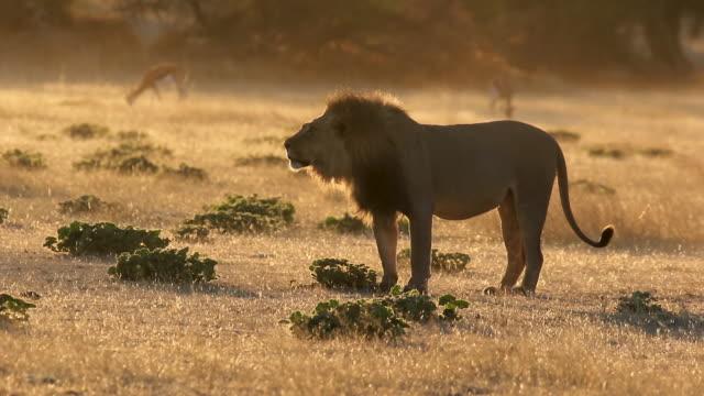 vídeos de stock, filmes e b-roll de grande leão macho rugindo - áfrica meridional