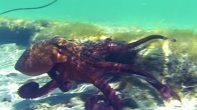 A big octopus underwater