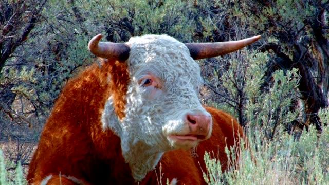 stockvideo's en b-roll-footage met big orange steer wild west 2 cow steens mountain near malhuer wildlife refuge 2 - oregon amerikaanse staat