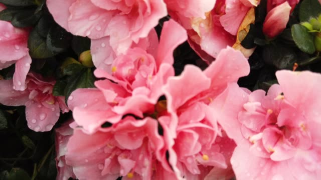 vidéos et rushes de azalée rose grosse fleur fleur dans jardin à macao. les azalées sont l'ombre tolérant arbustes genre rhododendron. - séquoia géant