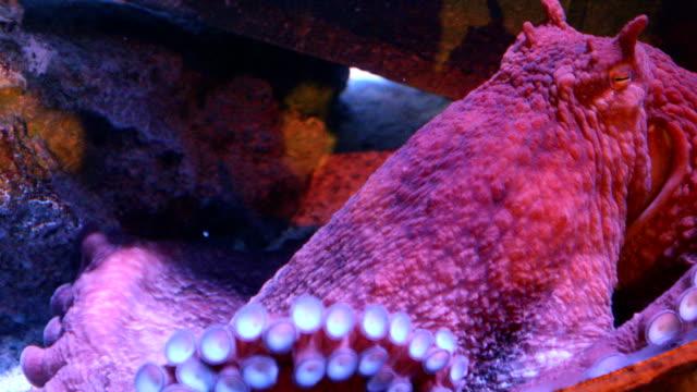 vídeos de stock e filmes b-roll de big red octopus in the sea - gigante personagem fictícia