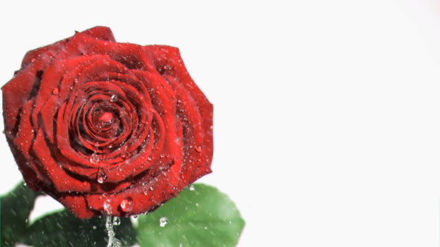 Big rose watered in super slow motion