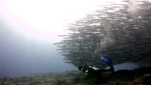 big school of barracuda in kakaban - barracuda stock videos & royalty-free footage