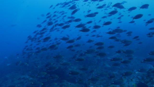 Big school of Damselfish swimming at undersea reef, Galapagos