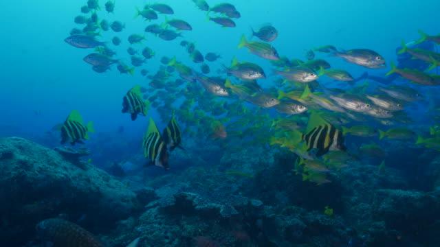 große schule von fischen schwimmen am unterwasserkorallenriff, ogasawara inseln - meerbarbe stock-videos und b-roll-filmmaterial