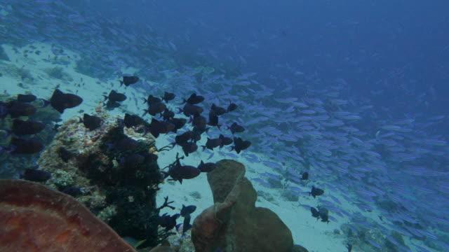 Grote school van Fusilier vis in tropische koraalrif