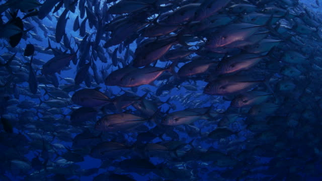 big school of giant trevally fishes below sea surface (4k) - jack fish stock videos and b-roll footage