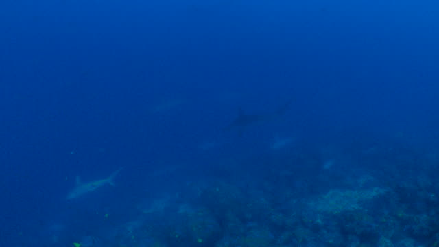 big school of scalloped hammerhead shark at deep sea reef, wolf island - galapagos shark stock videos & royalty-free footage
