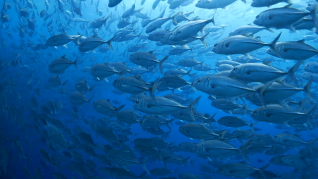 Big school of trevally jack fish swimming undersea