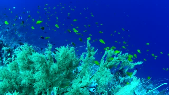 big sea fan gorgonian coral and marine life on healthy coral reef in wakatobi national park, indonesia. - gorgonian coral stock videos & royalty-free footage
