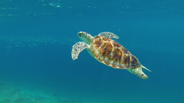 big sea turtle swimming with school of fish - turtle stock videos & royalty-free footage