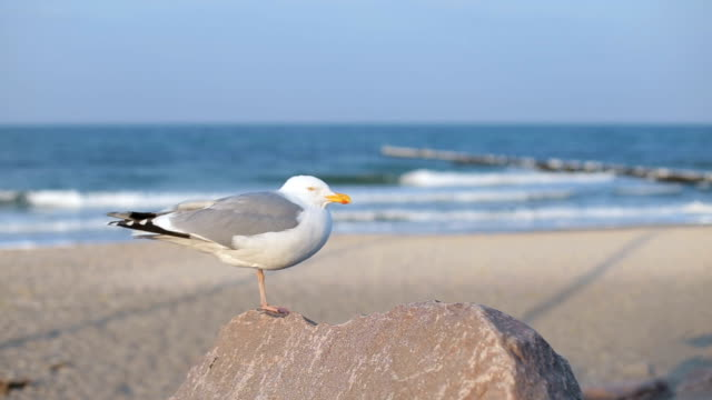 big seagull near ocean standing on the rock - seagull stock videos and b-roll footage