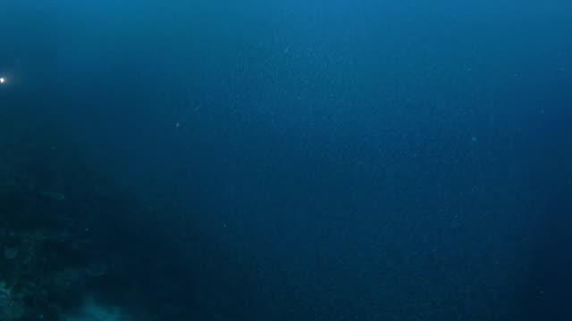 Big Sardellen bait ball Schwimmen über das Korallenriff