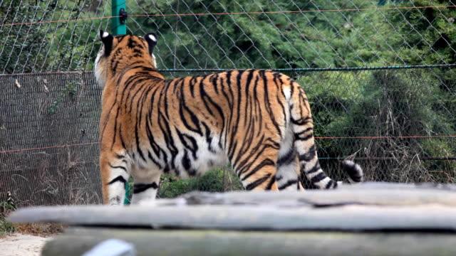 vídeos de stock e filmes b-roll de big tigre. - jaula