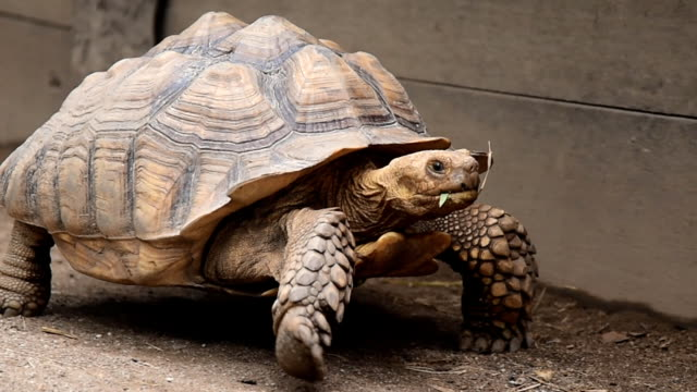 big tortoise - turtle shell stock videos & royalty-free footage