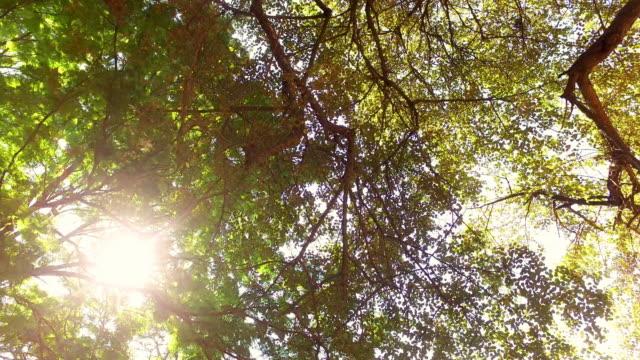 vídeos de stock, filmes e b-roll de natureza árvore grande - faia árvore de folha caduca