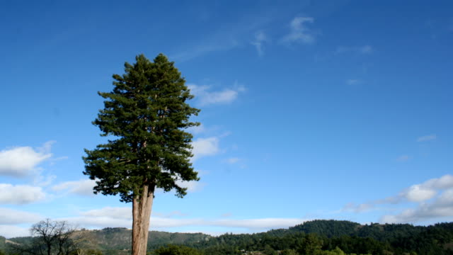big tree time lapse - redwood tree stock videos and b-roll footage