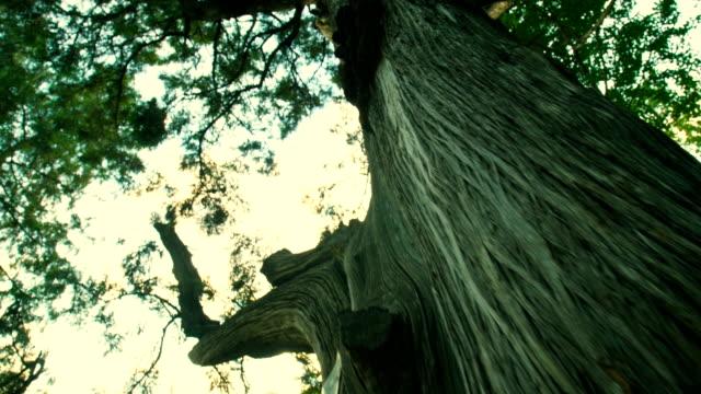 big tree trunk - sequoiabaum stock-videos und b-roll-filmmaterial