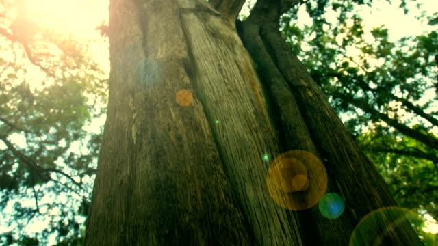 big tree trunk - sequoia stock videos & royalty-free footage