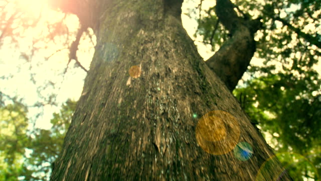 big tree trunk - pine tree stock videos & royalty-free footage