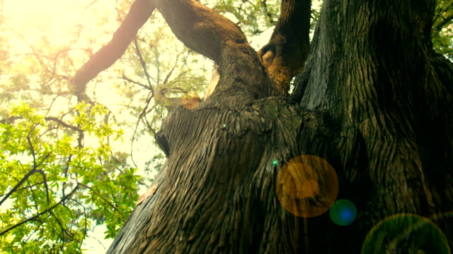 big tree trunk - zona arborea video stock e b–roll