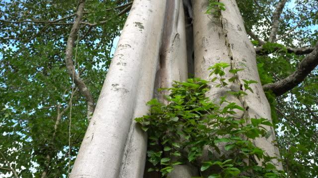 big tree - origins stock videos and b-roll footage