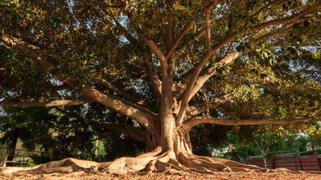 vídeos de stock, filmes e b-roll de grande árvore com sombras movendo-se em timelapse do sol - raiz
