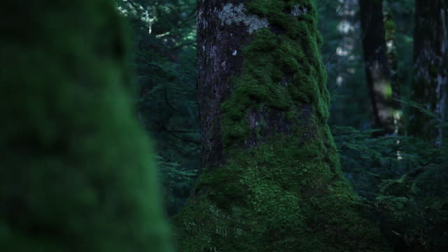 big trees covered with green moss in thick forest - nagano prefecture stock videos and b-roll footage