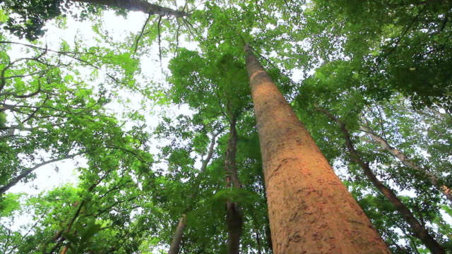 Big Trees in Thai National Park in dolly shot