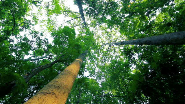 big trees in thai national park in dolly shot - rubber tree stock videos & royalty-free footage